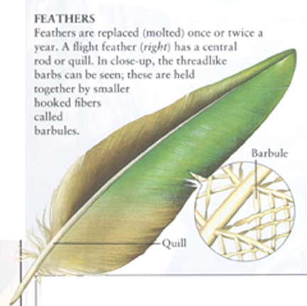 quill in feather